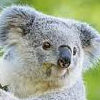 Killing Koalas: The Promise of Extinction Down Under